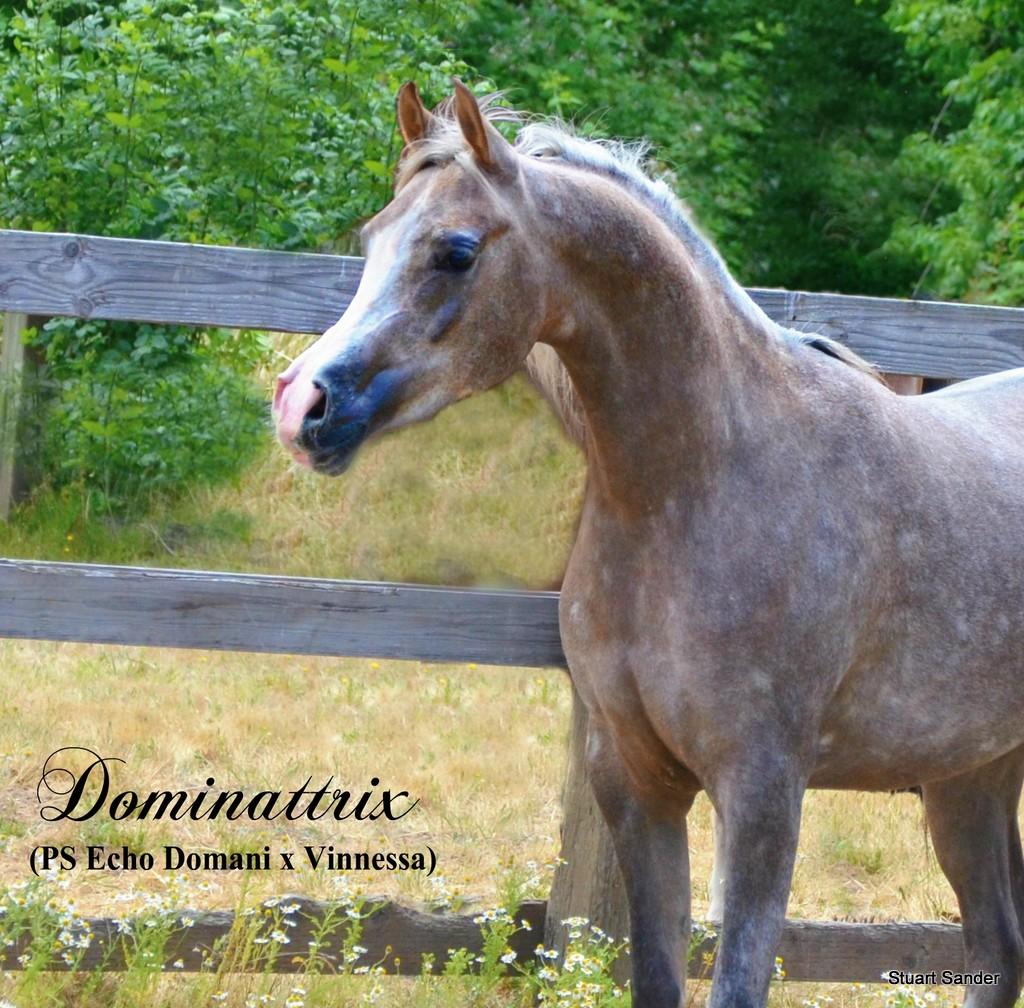 Arabian Arabians Arabian Horses For Sale